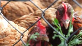 Gesprenkelte Henne in einem Stift stock footage