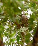 Gesprenkelte Mousebird Fütterung Stockfotos