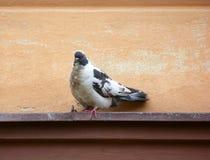 Gesprenkelte Taube, die auf einer Leiste sitzt stockfotografie