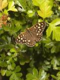 Gesprenkelter hölzerner Schmetterling im Frühjahr Lizenzfreies Stockfoto
