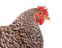 Gesprenkeltes Hühnerporträt Stockfotografie