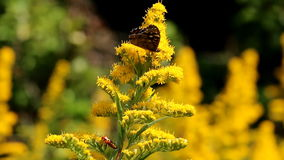 Gesprenkeltes Holz und roter Käfer an den gelben Goldruten stock video footage