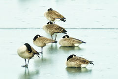 Gesse on Frozen Pond. Canadian Geese resting on frozen pond royalty free stock photos