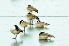 Gesse sur l'étang congelé photos libres de droits