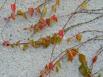 Gesso bianco con la pianta viny decorativa Immagine Stock