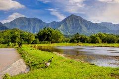 Gestalten Sie Ansicht von Hanalai-Tal mit wilden Gänsen Nene, Kauai landschaftlich Lizenzfreie Stockbilder