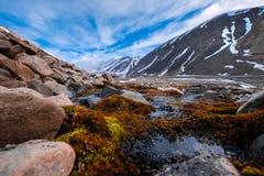 Gestalten Sie Beschaffenheit der Berge von Spitzbergen Longyearbyen Svalbard an einem polaren Tag mit arktischen Blumen im Sommer Stockfoto