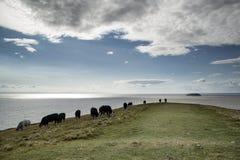 Gestalten Sie Bild von den Kühen landschaftlich, die auf Rand der Klippe am Sommertag weiden lassen Stockfotografie