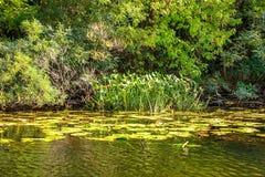 Gestalten Sie Bild von schilfigen und alten Bäumen eines kleinen Flusses landschaftlich Stockfoto