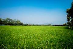 Gestalten Sie herein mit einem grünen Hintergrund des Getreidefelds und des blauen Himmels landschaftlich Lizenzfreie Stockbilder