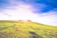 Gestalten Sie Landschaft des Ackerlandtales des grünen Hügels mit Schafen landschaftlich Stockbild