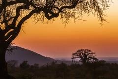 Gestalten Sie mit Baobab in Nationalpark Kruger, Südafrika landschaftlich Lizenzfreies Stockbild