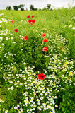 Gestalten Sie mit dem roten Mohnblumepapaver- und -kamillenblumenwachsen auf bunter Wiese in der Landschaft landschaftlich Frühli Stockbilder