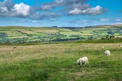 Gestalten Sie mit den Schafen landschaftlich, die in den Wiesen der Nordküste von Devonshire weiden lassen Stockfotos
