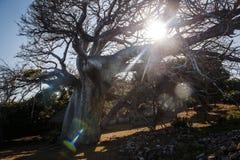 Gestalten Sie mit der Sonne landschaftlich, die durch die Niederlassungen eines Baobab scheint Lizenzfreies Stockbild