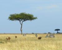 Gestalten Sie mit einem Acai-Baum in der Wiese mit sechs Zebras und drei Topis und eine Impala im Vordergrund landschaftlich Lizenzfreie Stockfotografie