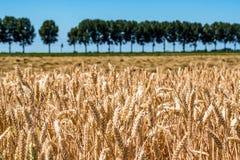 Gestalten Sie mit einem Weizenfeld und einem blauen Himmel landschaftlich Stockfoto
