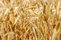 Gestalten Sie mit einem Weizenfeld und einem blauen Himmel landschaftlich Stockbild