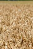 Gestalten Sie mit einem Weizenfeld und einem blauen Himmel landschaftlich Stockbilder