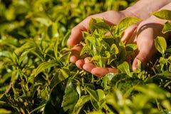 Gestalten Sie mit grünen Feldern des Tees in Sri Lanka landschaftlich Stockfotografie