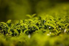 Gestalten Sie mit grünen Feldern des Tees in Sri Lanka landschaftlich Lizenzfreie Stockfotos