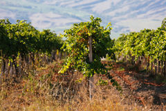 Gestalten Sie mit grünen Weinbergen und Bergen am Hintergrund landschaftlich Lizenzfreie Stockfotografie