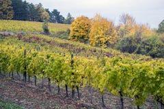Gestalten Sie mit Herbstweinbergen und organischer Traube auf Ranke landschaftlich Stockfotografie