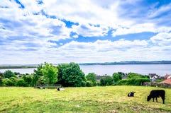 Gestalten Sie mit Kühen in den Hochländern von Schottland landschaftlich Stockbild