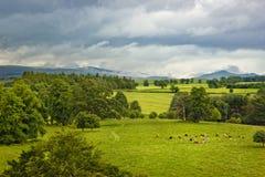 Schottische Landschaft mit Kühen auf Wiese Stockbilder