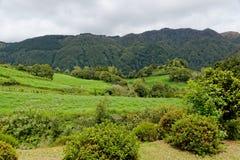 Gestalten Sie mit Kühen, Sao Miguel, die Azoren-Inseln, Portugal landschaftlich stockfotos