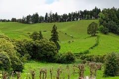 Gestalten Sie mit Kühen, Sao Miguel, die Azoren-Inseln, Portugal landschaftlich stockfotografie