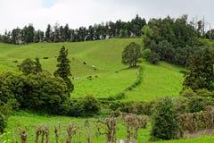 Gestalten Sie mit Kühen, Sao Miguel, die Azoren-Inseln, Portugal landschaftlich lizenzfreie stockfotos