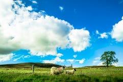 Gestalten Sie mit Schafen in den Hochländern von Schottland landschaftlich lizenzfreies stockbild