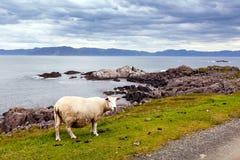 Gestalten Sie mit Schafen im Vordergrund und dem Ozean in der Rückseite landschaftlich Stockbilder