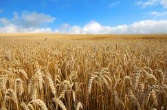 Gestalten Sie mit warmen farbigen gelben Weizenernten am sonnigen Tag auf ländlichem Ackerland landschaftlich Lizenzfreies Stockbild