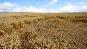 Gestalten Sie mit warmen farbigen gelben Weizenernten am sonnigen Tag auf ländlichem Ackerland landschaftlich Stockbild