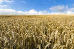 Gestalten Sie mit warmen farbigen gelben Weizenernten am sonnigen Tag auf ländlichem Ackerland landschaftlich Lizenzfreie Stockfotos