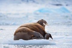 Gestalten Sie Naturwalroß auf einer Eisscholle Winter-Sonnenscheintages Spitzbergens Longyearbyen Svalbard des arktischen landsch lizenzfreie stockfotos
