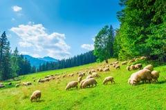 Gestalten Sie Steigung eines Berges und der Schafherde auf einer Wiese an landschaftlich stockfotos