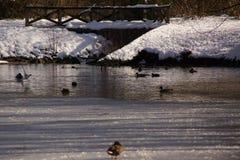 Gestaltet winterliches - etwas Schnee im Wald, in den Vögeln und in den Enten landschaftlich lizenzfreies stockfoto