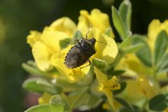 Gestankwanze Rhaphigaster-nebulosa Lizenzfreies Stockfoto
