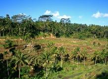 Gestapte rijstaanplantingen Stock Foto