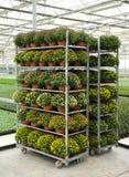 Gestelle von eingemachten Chrysanthemen Lizenzfreies Stockfoto