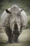 Gestemd beeld van een Witte Rinoceros Royalty-vrije Stock Foto's
