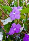 Gestern heute und morgen Blumen oder Brunfelsia uniflora poh stockfotografie