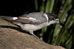 Gesteund zilver butcherbird Royalty-vrije Stock Afbeeldingen