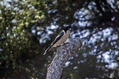 Gesteund zilver butcherbird Royalty-vrije Stock Foto