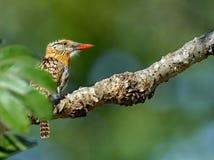 Gesteunde vlek puffbird Royalty-vrije Stock Fotografie