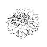 Gestileerde hand getrokken grafische zwart-witte dahlia op witte achtergrond Royalty-vrije Stock Foto