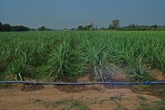 Gestione ed irrigazione del giacimento della canna da zucchero Fotografie Stock